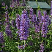 Agastache Blue Boa 175 new