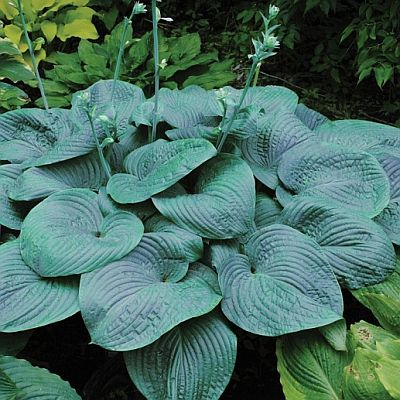 Hostas Extensive Hosta Plant Selection Bay State Perennial Farm