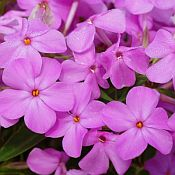 Phlox Forever Pink 175