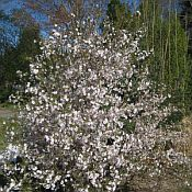 Prunus x Hally Jolivette175