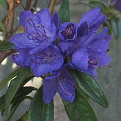 Rhododendron x 'Blue Baron'