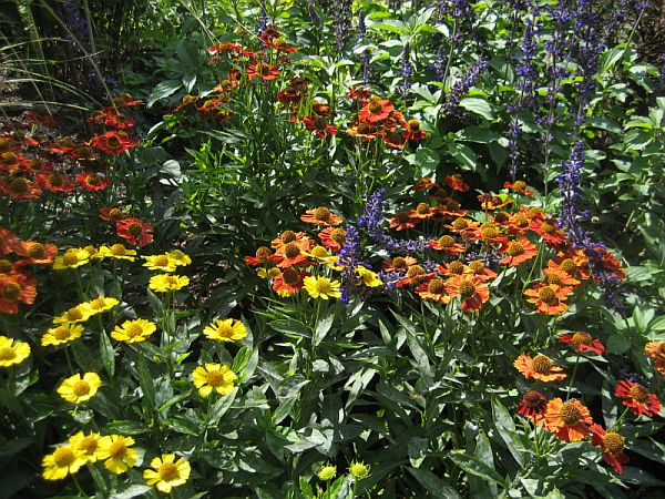 mid Sept mixed Helenium 600